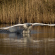 Swan take off — Stock Photo