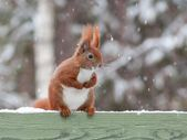 Squirrel in winter — Stock Photo