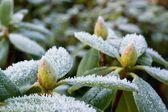 Mróz na rododendron — Zdjęcie stockowe