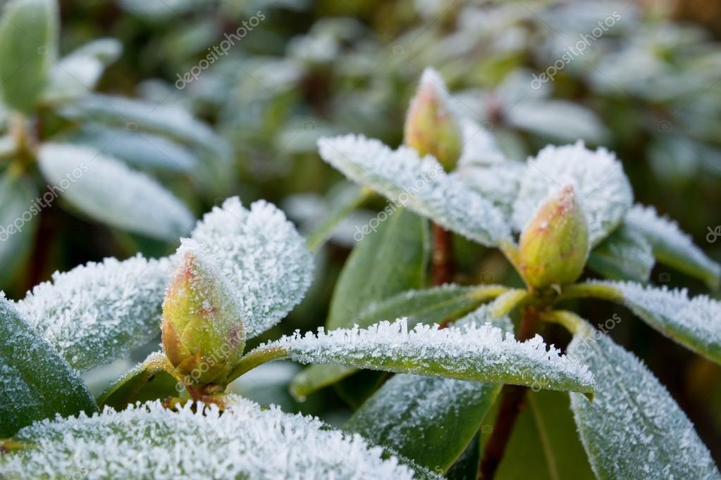 Gelo su rododendro foto stock jgade 27546631 - Rododendro prezzo ...