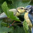 Foto Stock: Bluetit being fed