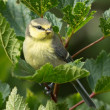 Juvenile bluetit — Photo