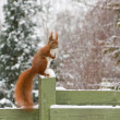 Squirrel in winter — Stock Photo #27556691