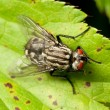 Flesh fly — Stock Photo