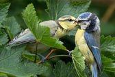 Bluetit being fed — Stock Photo
