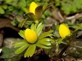 Winter aconite — Stockfoto
