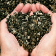 Love for sunflower seeds — Stock Photo