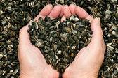 Amor para as sementes de girassol — Fotografia Stock