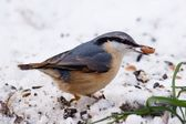 Nuthatch with a peanut — Stock Photo