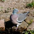 Shy Wood Pigeon — Stockfoto