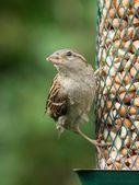 House sparrow on feeder — Stock Photo