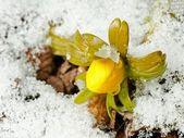 Winter Aconite — Stock Photo