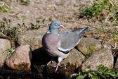 Shy Wood Pigeon — Stock Photo