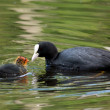 Stock Photo: Coot and it's offspring