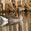 Greylag Goose — Stock Photo #27668951