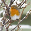 Robin and snow — Stock Photo