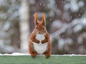 Squirrel in winter — Stock Photo
