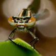 Damsel fly eyes — Stock Photo
