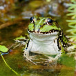 Green Frog with lifted head — Stock Photo