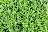 Verde lavanda — Foto Stock