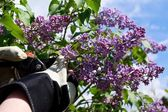 Cutting lilac — Stock Photo