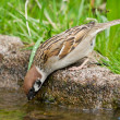 Drinking Tree Sparrow — Stock Photo