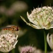 Hover fly in Astrantia flower — Lizenzfreies Foto