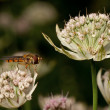 Hover fly in Astrantia flower — Stok fotoğraf