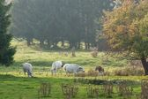 Cattle in autumn mist — Stock Photo