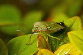 Grön shieldbug — Stockfoto