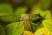 Yeşil shieldbug — Stok fotoğraf