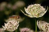 Hover sinek astrantia çiçek — Stok fotoğraf