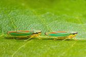 Two rhododendron leaf hoppers — Stock Photo