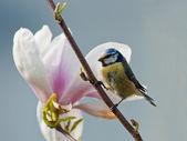 Bluetit and magnolia — Stock Photo