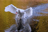 Angry swan attacking — Stock Photo
