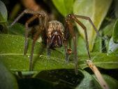 Twarz pająka — Zdjęcie stockowe