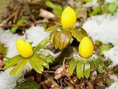 Aconito invernale — Foto Stock
