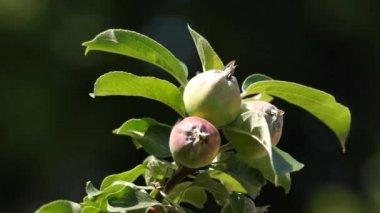 枝に緑のりんご — ストックビデオ
