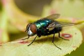 Fly metallico verde — Foto Stock