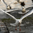 Gulls taking off — Stock Photo