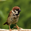 Sorry looking Tree Sparrow — Stock Photo