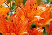 Lily flowers close up — Stock Photo