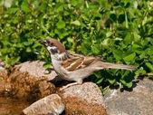 Eurasian Tree Sparrow drinking water — Stock Photo