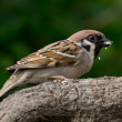 Eating Tree Sparrow — Stock Photo