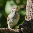 Singing tree sparrow — Stock Photo