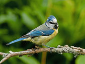 Perched bluetit — Stockfoto