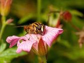 çizgili uçan sineği — Stok fotoğraf