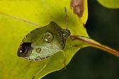 绿色 shieldbug — 图库照片