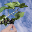 Stock Photo: Gathering black currant