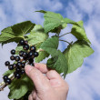 Gathering black currant — Stock Photo #28290753